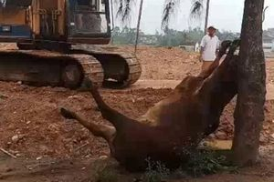 Bốn con bò chết bất thường: Bất ngờ 2 người lạ mặt
