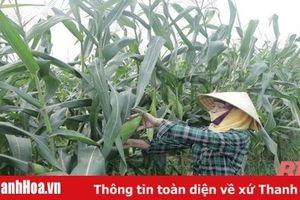 Huyện Thiệu Hóa nâng cao hiệu quả sản xuất nông nghiệp