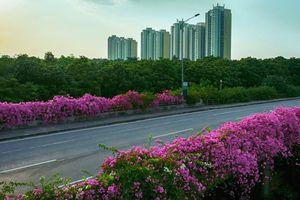 Vệt hoa giấy nhuộm tím một góc khu đô thị Ecopark