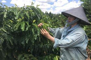 Tái canh cà phê, cây giống được quan tâm hàng đầu
