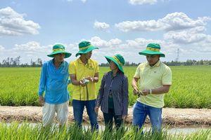 Đạm Cà Mau giúp nông dân tìm lại mùa vàng sau hạn, mặn