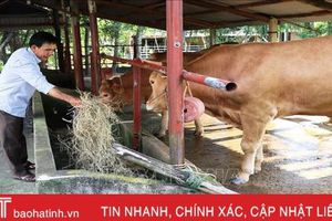 Nông dân Hương Khê chuyển hướng đầu tư nuôi bò siêu thịt