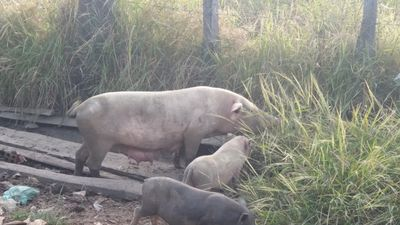 Chuyện ghi ở nơi lợn thả rông ngoài đồng, ăn cỏ như bò