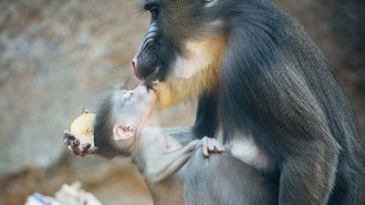 Khoảnh khắc khỉ con 'công chúa' làm nũng mẹ siêu đáng yêu