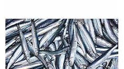 Nghề bủa xăm vui mùa cá cơm