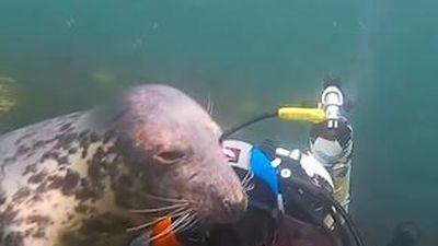Thợ lặn vuốt ve sư tử biển như thú cảnh dưới đại dương