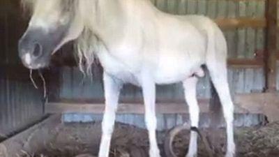 Những chú ngựa với bộ móng 'khủng, dị', dài cả mét... vì quên