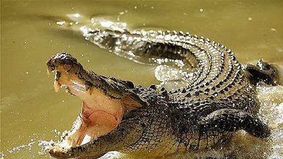 Trăn và cá sấu cùng nhau 'truy sát' chuột lang khổng lồ