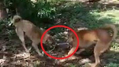 Clip: Chó nhà lao vào xâu xé, cắn đứt đôi rắn hổ ngựa