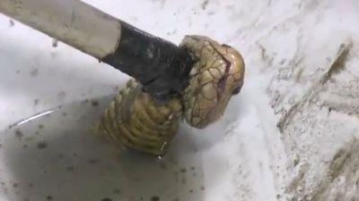 Rùng mình rắn hổ mang dài 1m chui lên từ bồn cầu