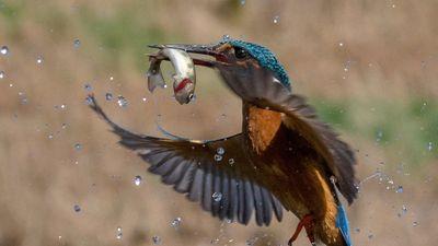 Chim bói cá phi tốc độ sét đánh, săn mồi ngoạn mục
