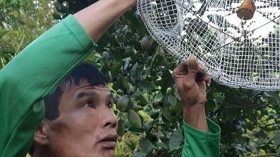 Tận mục sở thị 'phù thủy' Hòa Bình bắt côn trùng tại vườn cam
