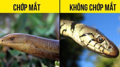 Cách phân biệt rắn với thằn lằn không chân
