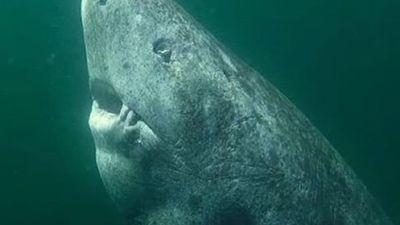 'Dung nhan' cá mập 'thành tinh', 512 tuổi, sống lâu nhất thế giới
