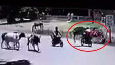 Clip: Bò nổi điên tung cước quật ngã người đi xe máy