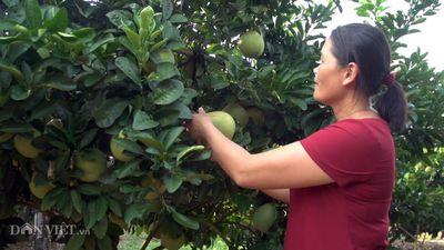 Clip: Bỏ việc, bán nhà Hà Nội về quê trồng cả đồi bưởi thu tiền tỷ