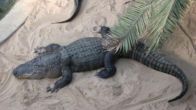 Loài cá sấu 'quái thú đầm lầy', giết chết người nhiều nhất