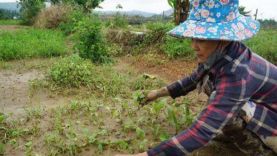 Mất trắng hàng chục ha rau sạch sau trận mưa kinh hoàng ở Đà Nẵng