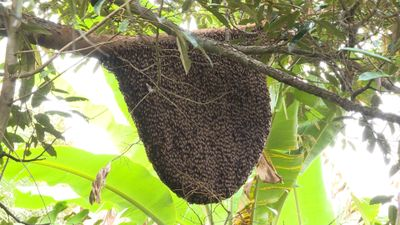 Chuyện lạ: Tổ ong rừng 'khủng' trong vườn dừa dứa