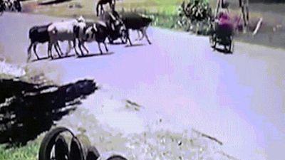 Đang lái xe máy, bị bò lao tới tung cú kungfu ngã bay xuống đường