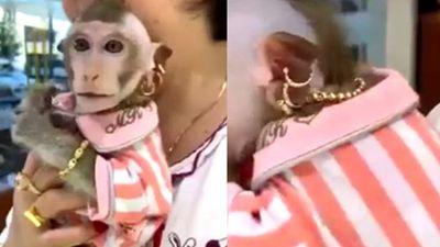 Chú khỉ đeo vàng từ đầu đến chân và dùng kem dương da mỗi tối