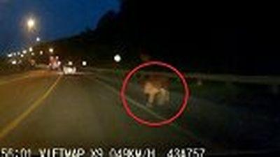 Tài xế giật mình, suýt đâm trúng con bò lạ trên cao tốc lúc trời tối