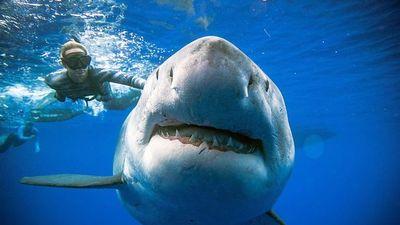 Cận cảnh siêu cá mập trắng to nhất từ trước tới nay