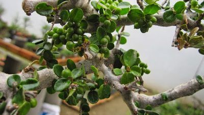 Khám phá thú vị về cây sam núi quý hiếm của Việt Nam