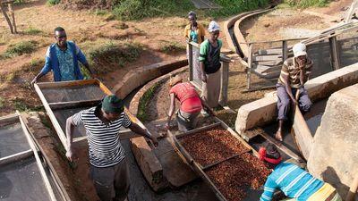 Nông dân 'thánh địa' Arabica lo phải bỏ nghề vì cà phê rớt giá