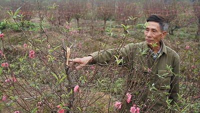 Xem bóng đá, sáng ra nông dân sững sờ vì đào bị chặt phá
