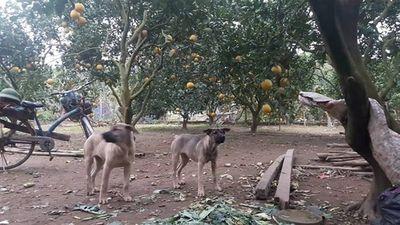 Thả chó, rào thép gai, lắp camera canh trộm bưởi Diễn ở Hà Nội