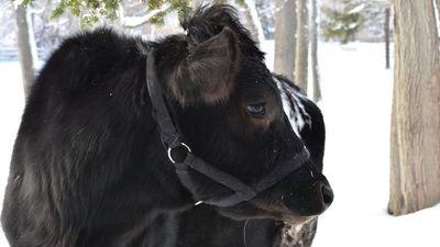 'Phượt thủ' bò trốn thoát, lang thang khắp nơi khiến chủ khốn đốn