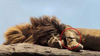 Thằn lằn lén lút bắt ruồi trên lưng sư tử đang ngủ say
