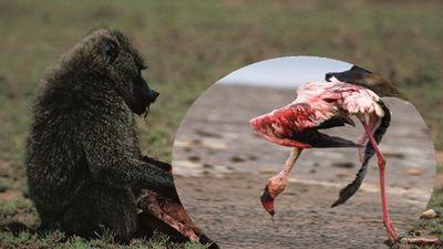 Hãi hùng cảnh khỉ đầu chó rượt đuổi và xé xác hồng hạc trong gang tấc