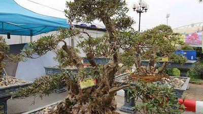 Cây đỗ quyên 400 năm tuổi trả 1 tỷ đồng không bán ở Lào Cai
