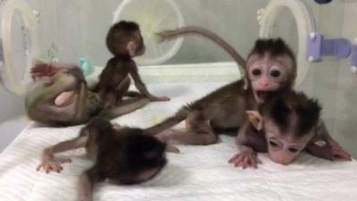 Trung Quốc cho sinh sản vô tính khỉ biến đổi gien để nghiên cứu sức khỏe tâm thần