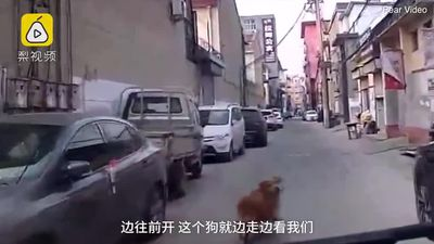 Chú chó thông minh dẫn đường cho xe cứu thương đến nơi chủ đang đột quỵ
