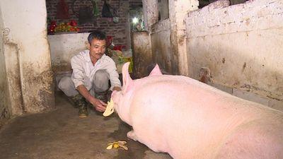 Clip: 'Ông lợn' La Phù được cho ăn sang, ngủ mắc màn đợi ngày rước