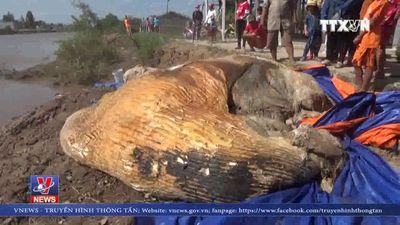 Xử lý xác cá voi 10 tấn trôi vào vùng biển Bạc Liêu