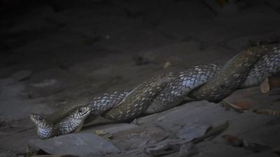 Sự thực chết chóc sau 'cái ôm' ngọt lịm của cặp rắn đực