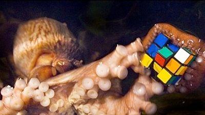 Video chứng minh bạch tuộc có trí thông minh 'phi thường'