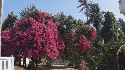 Chiêm ngưỡng 'cụ' hoa giấy khủng trên đảo Lý Sơn, trả hàng trăm triệu đồng không bán