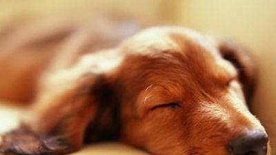Khám phá thú vị về những giấc mơ của loài chó
