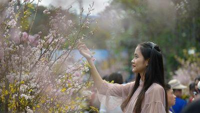 Ngắm hoa anh đào Nhật Bản nở rộ giữa lòng thủ đô Hà Nội
