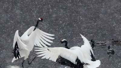 Sếu gáy trắng đánh nhau kịch liệt và phản ứng 'lạ' của bầy đàn