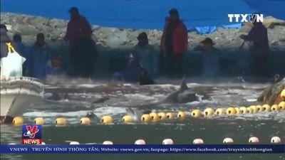Lễ hội tàn sát cá heo ở Nhật Bản