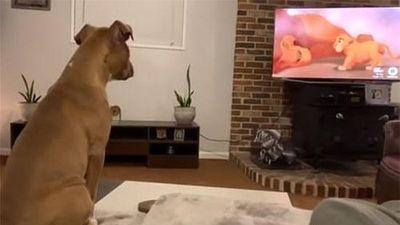 Chú chó Luna biểu cảm và khóc thút thít khi xem phim Vua sư tử