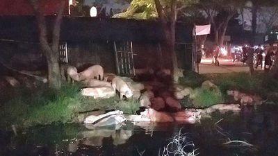 Xe tải lật ở Sài Gòn, cả trăm con heo tràn xuống kênh