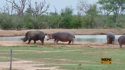 CLIP: Tê giác 'nếm trái đắng' vì bắt nạt hà mã con