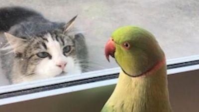 Vẹt trêu ngươi chú mèo háu ăn háo sát qua lớp cửa kính